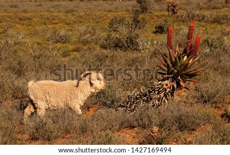 Angora goat walking in typical arid Karoo vegetation, famous for its fine, luxurious mohair fleece, Eastern Cape, South Africa.