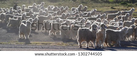 Angora goats, pure-bred farm animals, produce mohair, a scarce fibre, as well as meat. Most of the world's hair comes from South Africa's Eastern Cape region, followed by Texas in North America.