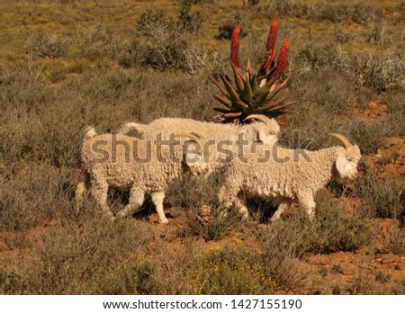 Angora goats, the source of fine, lustrous mohair fibre which is sort after in the fashion industry, are walking in typical Eastern Cape habitat with flowering Aloe ferox in the background.