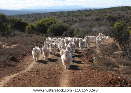 Angora goats walking in a herd produce fine mohair