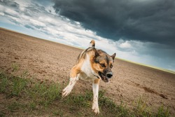 Angry Aggressive Mad Dog Running On Camera.