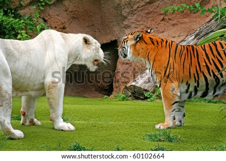 http://image.shutterstock.com/display_pic_with_logo/422902/422902,1283263428,2/stock-photo-angry-albino-male-tiger-g%20rowling-at-female-tiger-60102664.jpg