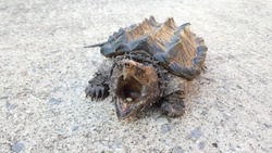 Angry Alligator Snapping Turtle on the road