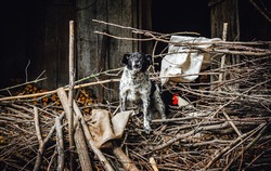 Angry and energetic countryside mixed-breed dog barking in the yard and protecting a house and poultry in a poor Balkan village.
