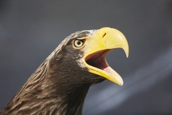 Angry and proud Steller's sea eagle portrait (Haliaeetus pelagicus) is a large diurnal bird of prey macro close up