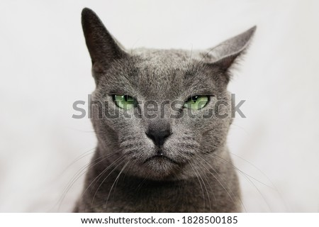 Angry annoyed cat looking at camera. Wanted russian blue cat robber, funny expression. Сток-фото ©