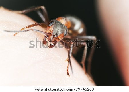 Angry ant biting human skin, extreme close-up with high magnification
