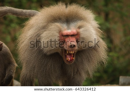 Angry Baboon