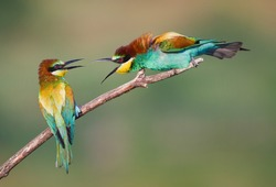 Angry Bee-eaters