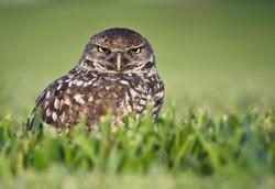 Angry Bird - Burrowing Owl