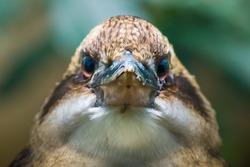 Angry bird, Kookaburra closeup. Kookaburras are terrestrial tree kingfishers native to Australia and New Guinea,