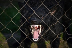 angry black dog behind the fence