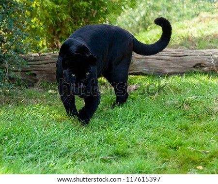 Angry Black Jaguar Stalking Forward Panthera Onca