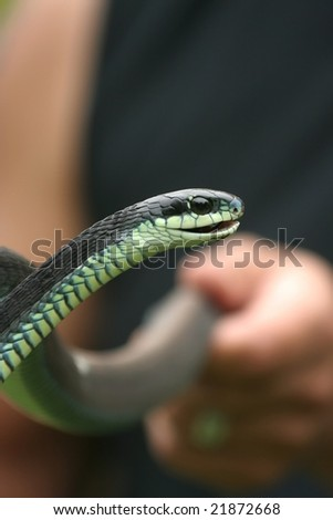 Angry boomslang snake held by a snake trainer