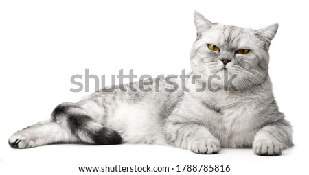 Angry British Cat Grumpy and serious Looking in Camera Isolated on white background, Front view.
