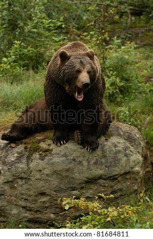 Angry brown bear sitting on a rock in the forest