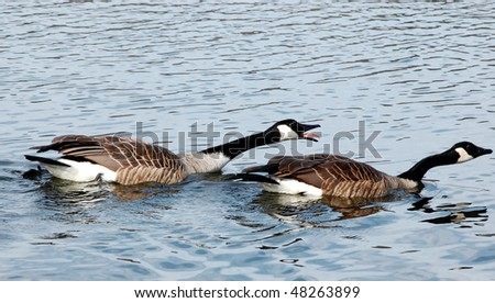 Angry Canada geese chasing after others in river