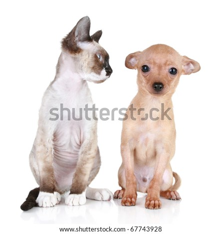 Angry cat, Devon-rex breed with scared toy-terrier puppy