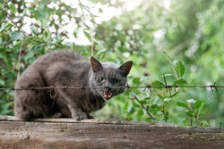 Angry cat growls sitting on fence behind barbed wire. Aggressive grey cat defending his territory.