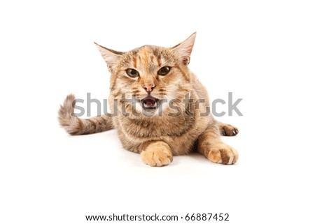 Angry cat isolated on a white background
