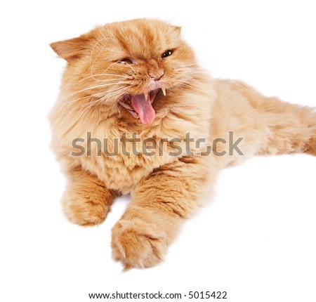 Angry cat isolated on white - stock photo