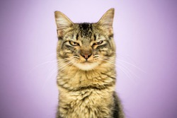 Angry cat portrait. mad expression, studio photoshoot
