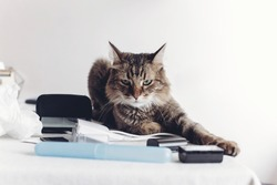 angry cat sitting on table with work items, funny moment. cat freelancer at home. space for text