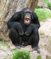 Angry Chimpanzee, Outdoor