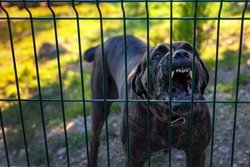 Angry cross breed security dog barking a warning from behind a wire fence.aggressive dog