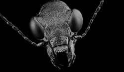 Angry Dangerous Ant Black Face On The Black Background