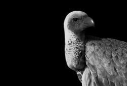 Angry Dangerous Vulture Bird Looking Back In The Black Background