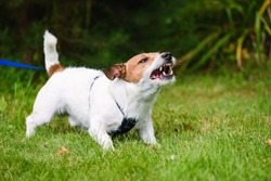 Angry dog aggressively barking and defending his territory