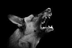 Angry dog on dark background. Black and white image