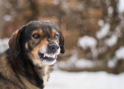 Angry  dog shows teeth. Pets. Wicked aggressive dog. Angry dangerous  dog protection barking attacks.