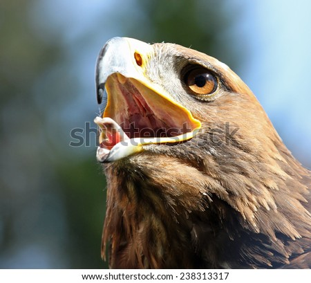 angry Eagle with open beak and eyes wide-open