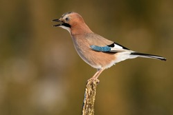 Angry eurasian jay, garrulus glandarius, singing on branch in autumn. Small feathered animal with blue stripe calling on bough. Brown bird screeching on twig.