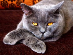 Angry evil cat looks sneaky puts paw on paw. Sneaky cat with bad yellow eyes laying like boss. Angry aggressive cat face closeup in conflict. Angry animal domestic pet theme. Mad ferocious cat at home