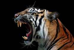 Angry face of sumatran tiger, animal angry, head of tiger sumatera closeup with black background