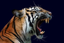 Angry face of sumatran tiger, animal angry, head of tiger sumatera closeup with blue background