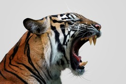 Angry face of sumatran tiger, animal angry, head of tiger sumatera closeup with grey background