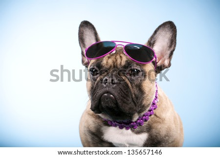 Angry French Bulldog