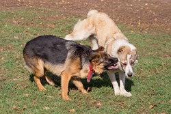 Angry german shepherd dog puppy is aggressively attacks the central asian shepherd dog puppy. Dog fight. Pet animals. Purebred dog.