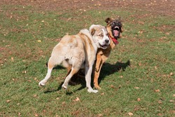 Angry german shepherd dog puppy is aggressively attacks the central asian shepherd dog puppy. Dog fight. Pet animals.