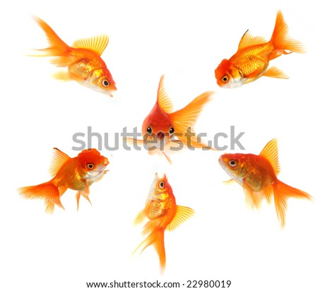 Angry Goldfish Ganging Up on a Peer. Concept Illustrates Pressure, Shock or Getting Caught