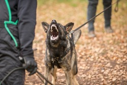 Angry Gray working line German shepherd barking  from front