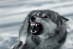 Angry grinning wolf (Canis lupus) in winter