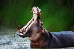 Angry hippopotamus / hippo displaying dominance in the water with a wide open mouth. Hippopotamus amphibius