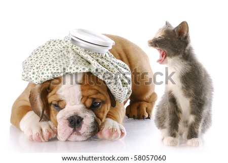 angry kitten mouthing off to english bulldog puppy with a headache - stock photo