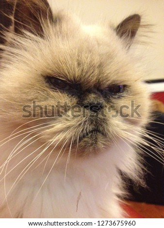 angry kitty cat  #1273675960