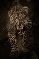 Angry leopard attacking/Angry leopard/Safari park - Egypt